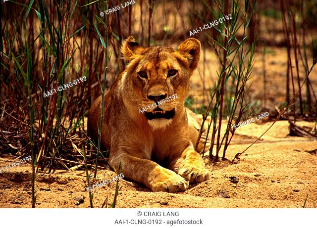 Lioness, Mala Mala Game Reserve, Mpumalanga, South Africa