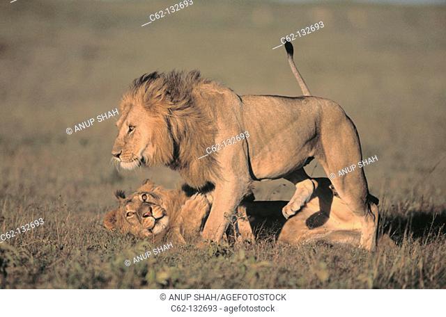 Lions (Panthera leo). Masai Mara natural reserve. Kenya