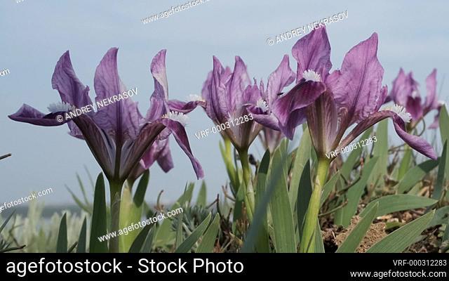 Closeup of iris flowers on blue sky background