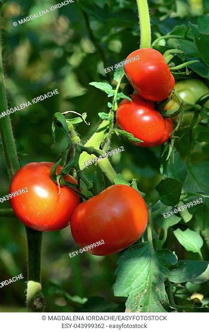 Branch of red ripe and green unripe tomatoes in garden