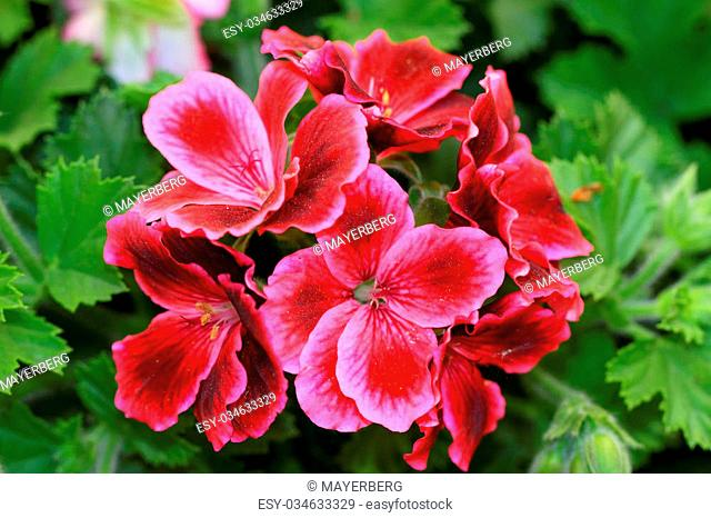 French Geranium or Pelargonium grandiflorum