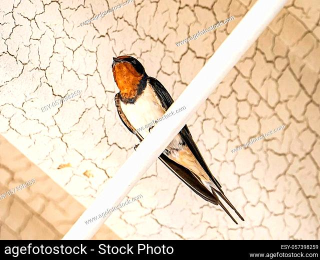 A Japanese barn swallow, Hirundo rustica gutturalis, rests on a conduit outside a Japanese train station in Kanagawa Prefecture