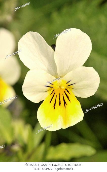Violets, pansies or heartsease (Viola sp., fam. Violaceae). Osseja, Pyrenees-Orientales, Languedoc-Roussillon, France