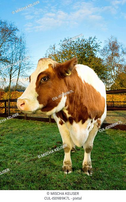 Portrait of domestic cow in field, close-up