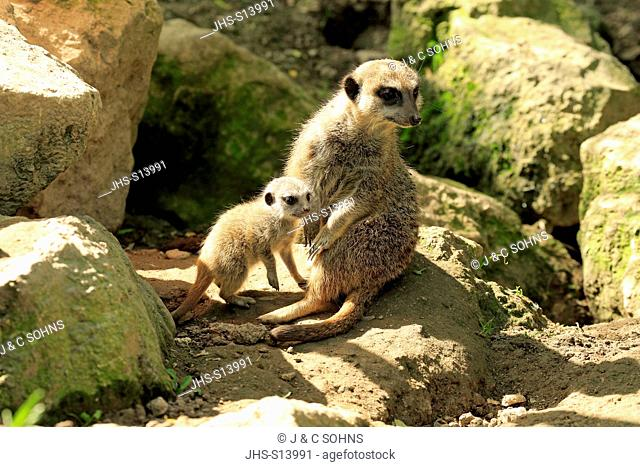 Suricate, (Suricata suricatta), adult with young, Africa