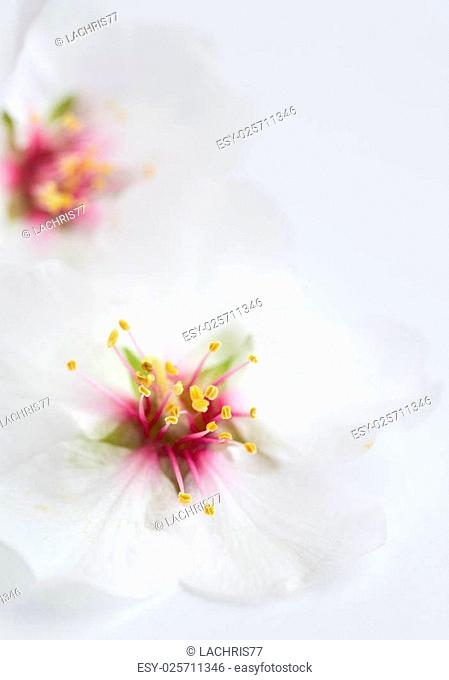 Almond blossoms on a white background