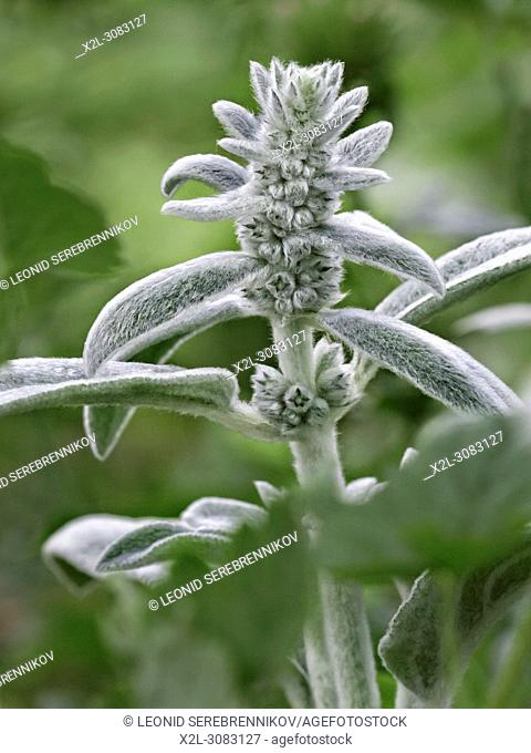Top part of Lamb's-Ear, or Woolly Hedgenettle plant with stem, leaves and flower buds. Scientific name: Stachys byzantina (syn. Stachys lanata)