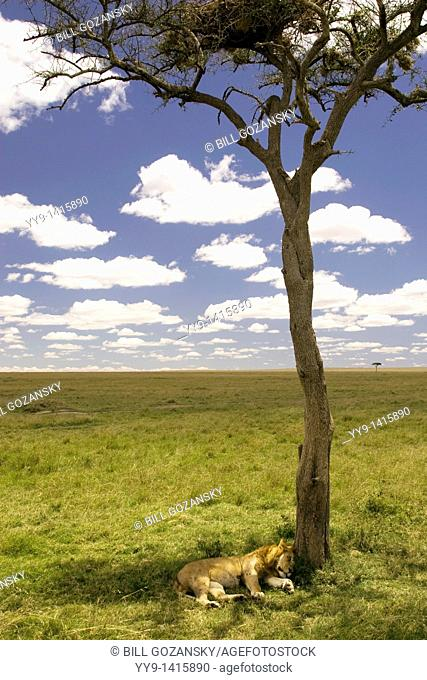 Lion sleeping under lone tree - Masai Mara National Reserve, Kenya