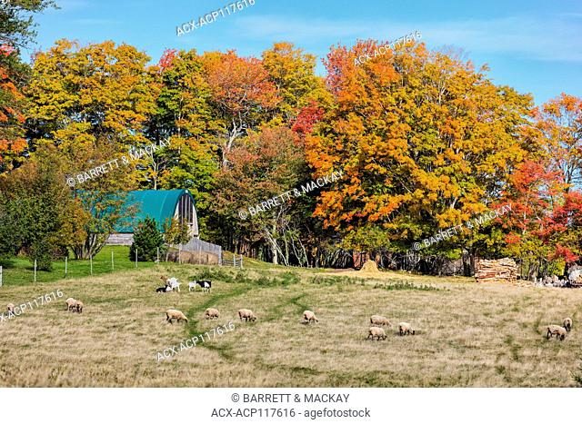 Sheep and goats grazing, Clyde River, Prince Edward Island, Canada