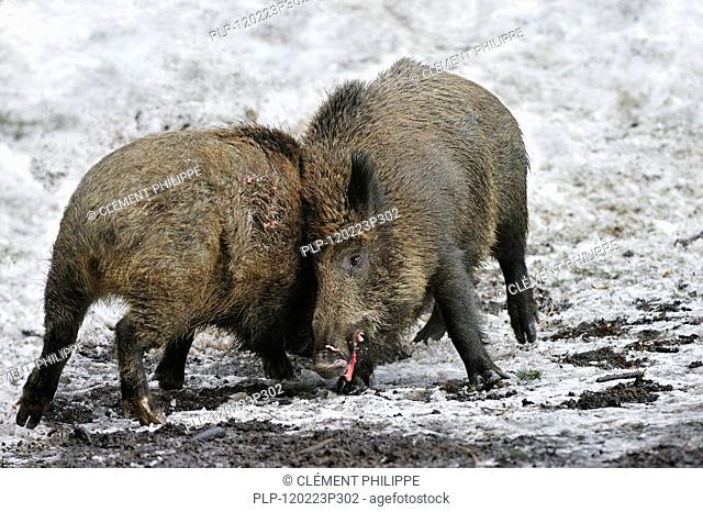 Two aggressive wild boars Sus scrofa in the snow in winter fighting vigorously by slashing each other with their tusks, Bavarian Forest National Park, Germany