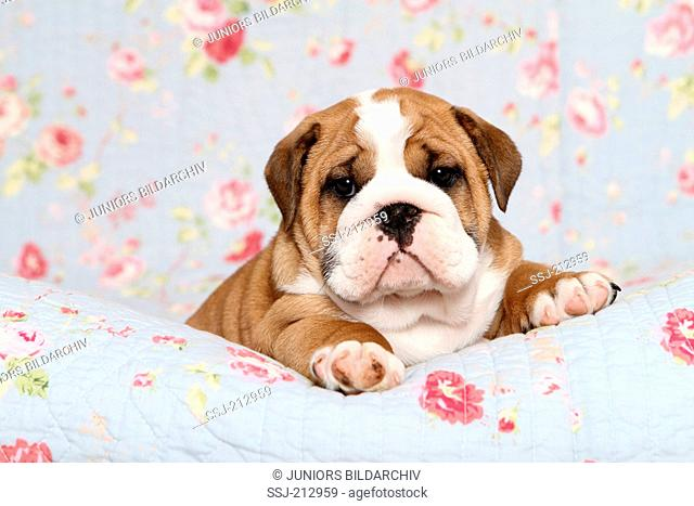 English Bulldog. Puppy (7 weeks old) lying on a blue blanket with rose flower print. Germany