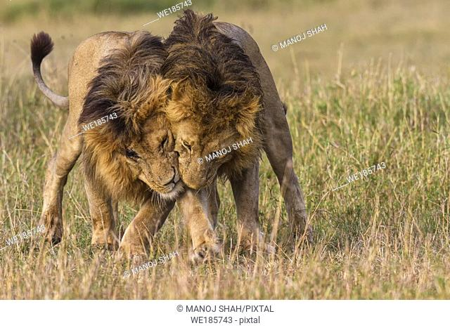 Male lions greeting early morning in Masai Mara