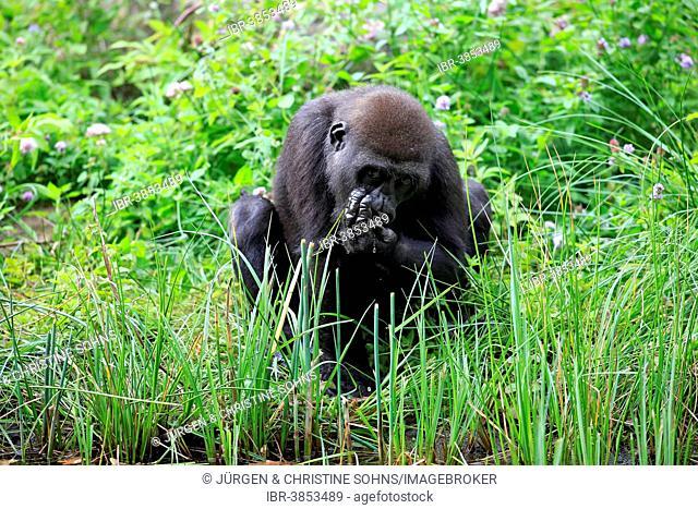 Western Lowland Gorilla (Gorilla gorilla gorilla), young, drinking, Apeldoorn, Netherlands