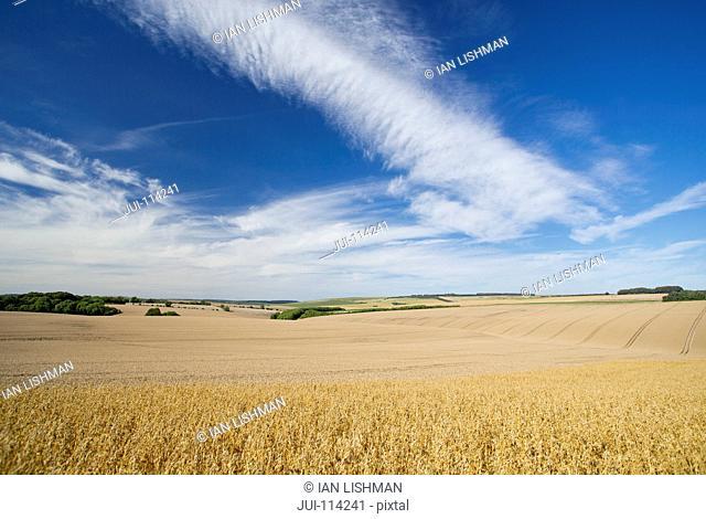 Oat Crop Growing In Field With Blue Sky