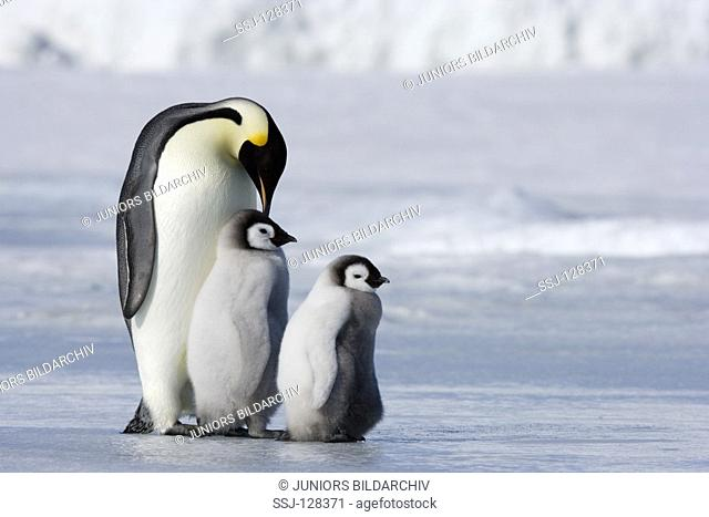 emperor penguin with two cubs - Aptenodytes forsteri