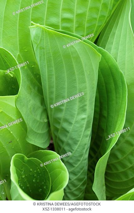 The unfurling leaves of a hosta, specifically sum and substance