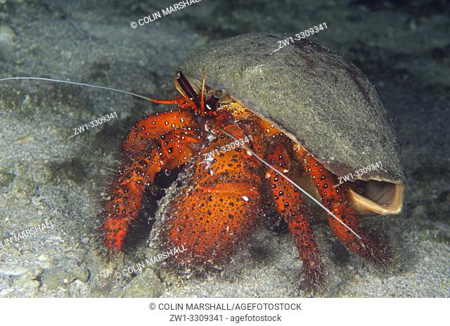 White-spotted Hermit Crab (Dardanus megistos) in shell, Sapokreng dive site, night dive, Dampier Straits,Raja Ampat, Indonesia