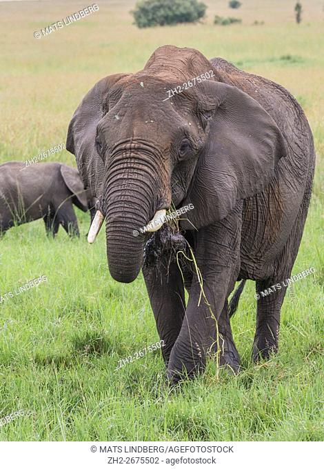 Elephant standing on the savanna eating grass and having grass in his mouth, having a broken tusk, Masai mara, Kenya, Africa