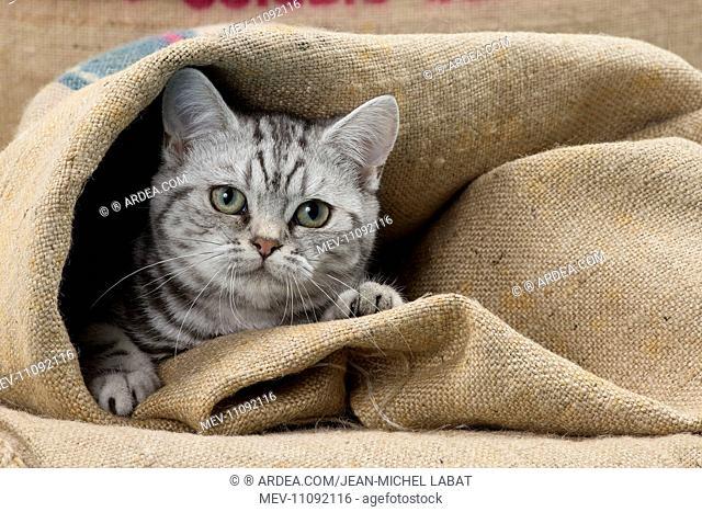 Cat British Shorthair 5 month old kitten