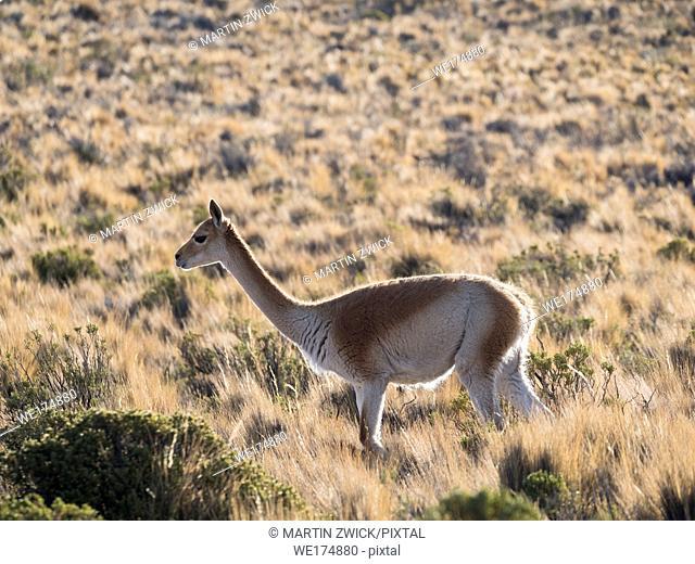 Vicuna (Vicugna vicugna) in the Altiplano of Argentina near the Serrania de Hornocal