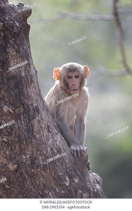 Asia, India, Rajasthan, Ranthambore National Park, Rhesus macaque or Rhesus monkey (Macaca mulatta mulatta), young