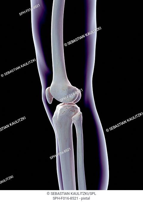 Human knee joint, illustration