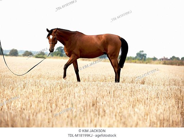 A bright bay Arabian horse standing in a stubble field, side view