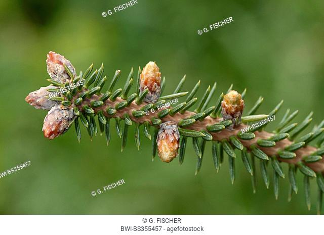 Spanish Fir, Hedgehog Fir (Abies pinsapo), branch with female cones, Spain, Andalusia, Sierra de Grazalema Natural Park