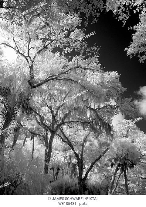 Infrared red black and white photography of trees in southwest Florida