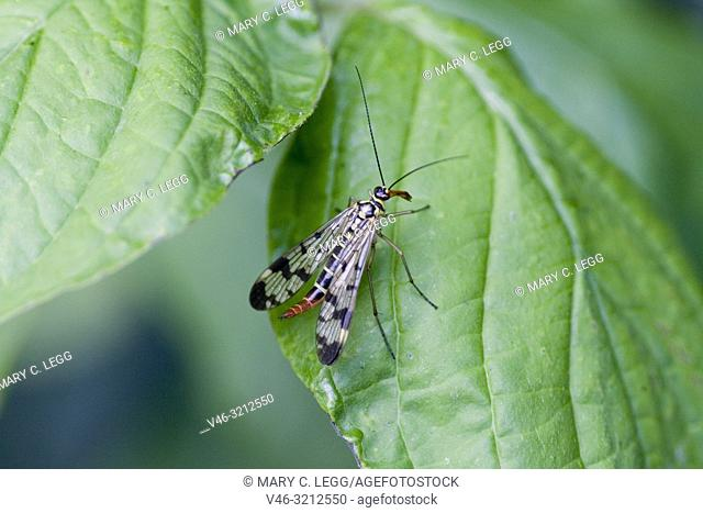 Scorpion Fly, Panorpa communis, European common scorpionfly found in hedgerows and nettle patches. Length 30mm with wingspan 25mm