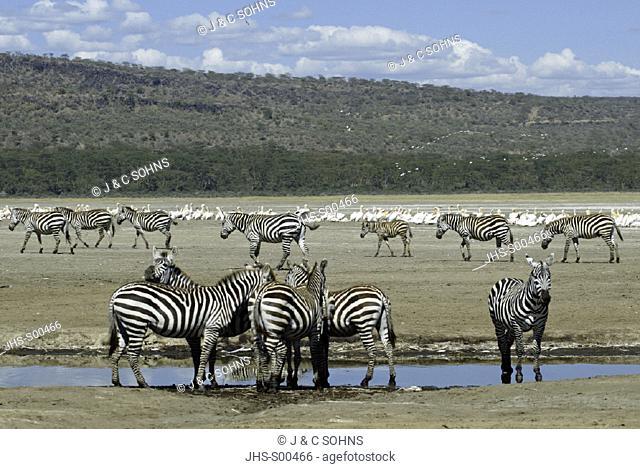 Plains Zebra(Burchell) Equus burchelli boehmi Lake Nakuru Kenya