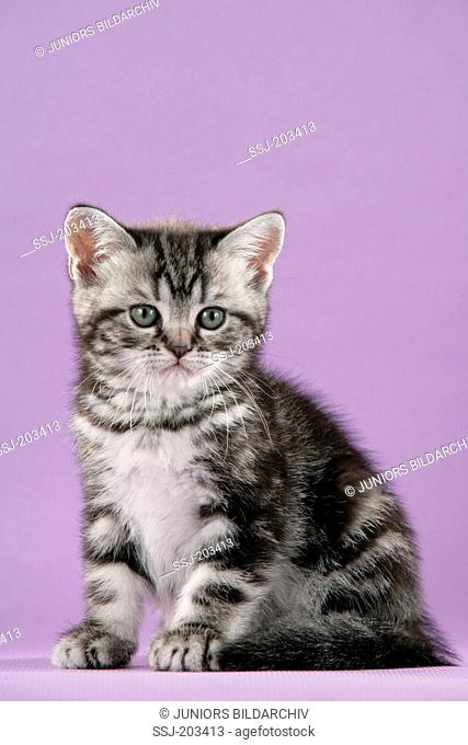 British Shorthair. Tabby kitten sitting. Studio picture against a purple background. Germany