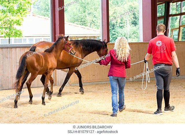 Iberian Sport Horse. A foal learns to walk on the lunge using its mothers example. Germany