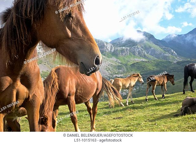 Herd of horses on the meadows from Somiedo Natural Park, Asturias