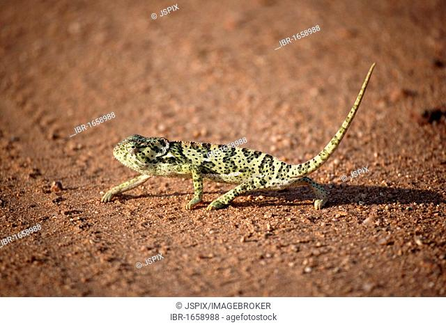Flap-necked Chameleon (Chamaeleo dilepsis), adult on the ground, Kruger National Park, South Africa, Africa