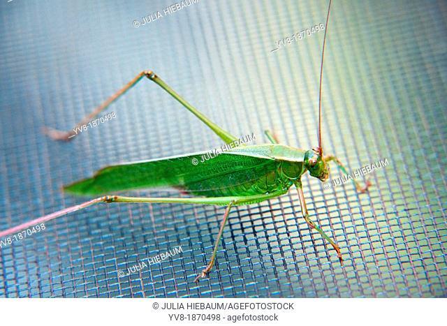 Common meadow katydid