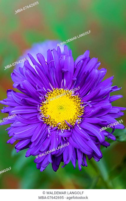 China aster, annual aster