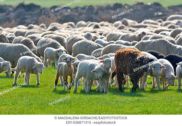 Flock of sheep and lambs on spring field at sunset