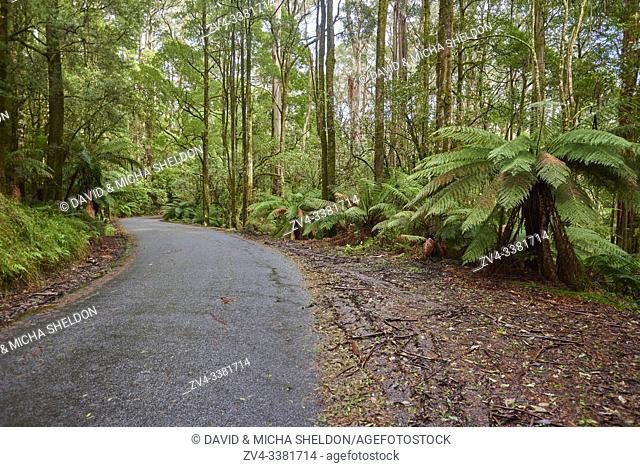 Nature landscape of a road through the forest in the Great Otway National Park in spring, Australia