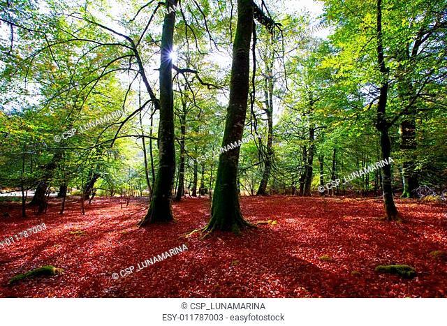 Autumn Selva de Irati beech jungle in Navarra Pyrenees Spain
