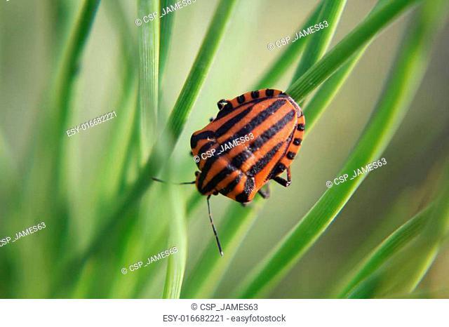 black red striped bug