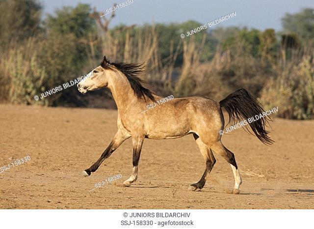 Kathiawari horse - walking