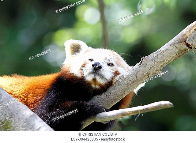 Roter Panda in Nahaufnahme
