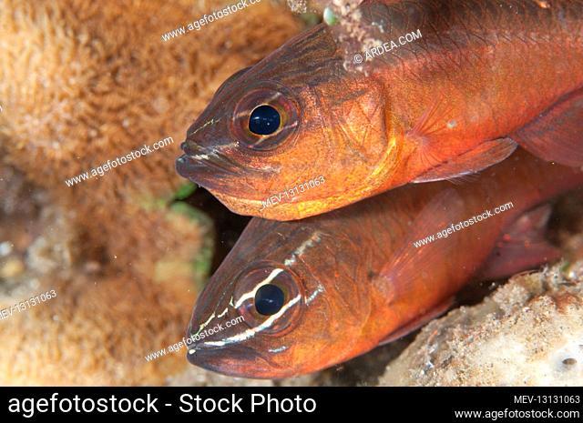 Pair of Moluccan Cardinalfish - Aer Prang dive site, Lembeh Straits, Sulawesi, Indonesia