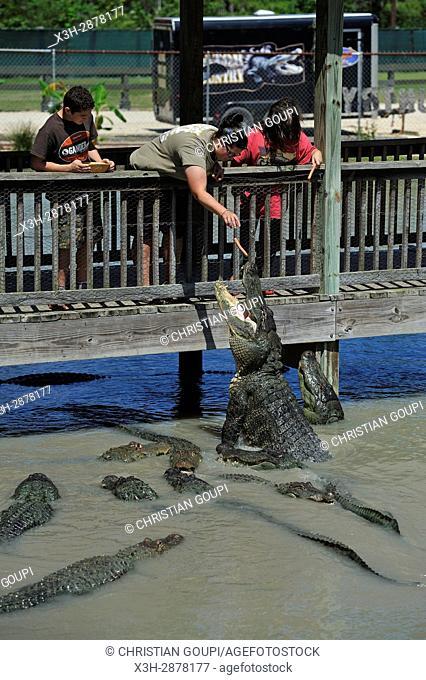 alligators feeding, Gator Country Wildlife Adventure Park, Beaumont, Texas, United States of America, North America