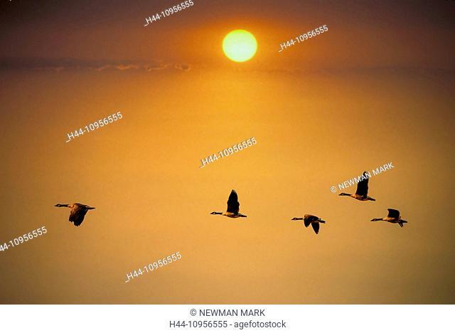 Canada geese, geese, USA, United States, America, sunset, flight, birds