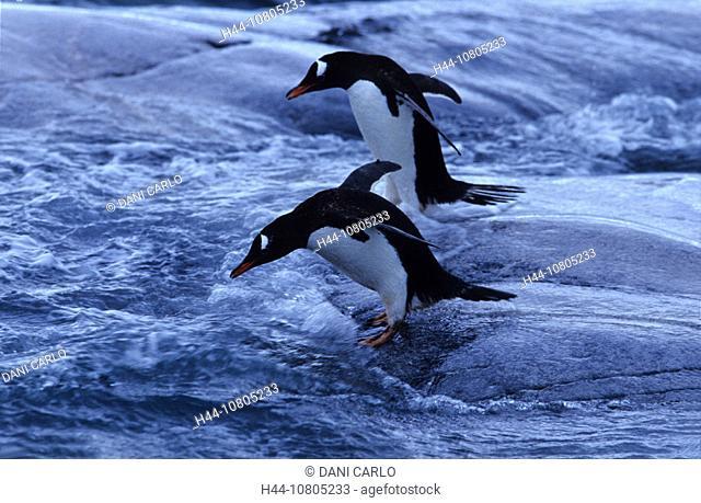 Antarctic, Antarctic Peninsula, Base A, Gentoo Penguin, penguin, animal, bird, Pygoscelis papua, Goudier Island, Por