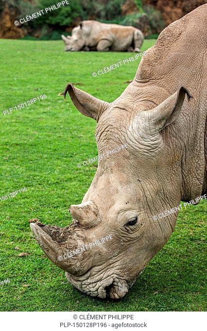Close up of white rhino / Square-lipped rhinoceros (Ceratotherium simum) grazing grass