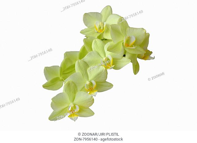 Yellow flower orchid isolated on white background