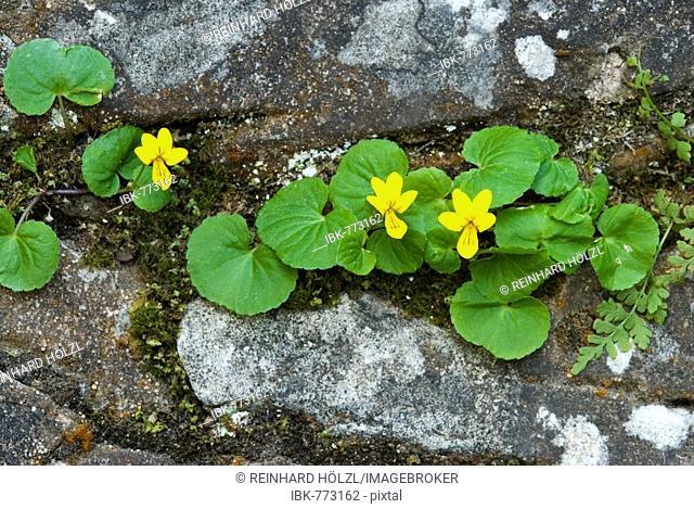 Twoflower Violet (Viola biflora), Lake Karersee, South Tyrol, Italy, Europe